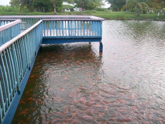 Little Hobby Hut Safari & Fish Farm: Fishing Dock