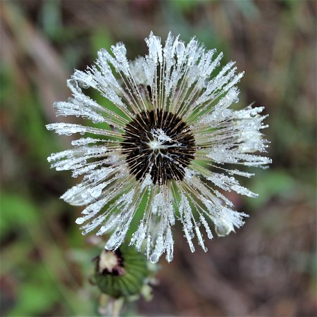 Cross River : Dew on a seeded out dandelion