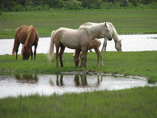 Saltwater Pony Tours : Wild Ponies 1