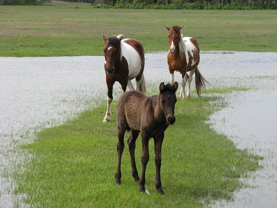 Saltwater Pony Tours : Wild Ponies 2