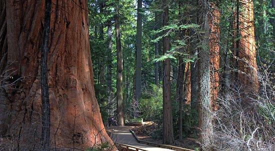 Big Trees State Park, Arnold   Calaveras Visitors Bureua