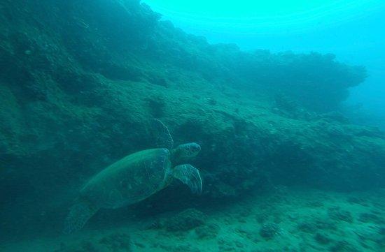 Bubbles Below Scuba Charters: Green sea turtle in Kauai