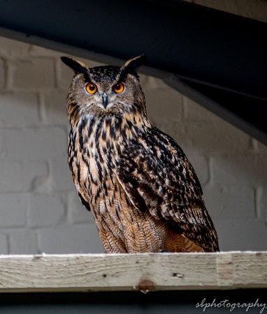 Shropshire Falconry Ltd : european eagle owl at shropshire falconry, a very stubborn bird