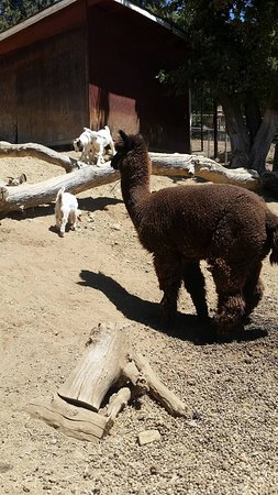 Oak Glen, CA: Alpacas, goats, donkeys, and more, all viewable across from the picnic park.