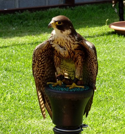 National Bird of Prey Centre : peregrine falcon