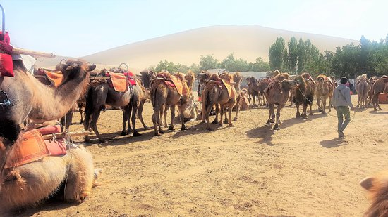Mingsha Mountain: Camels for hire