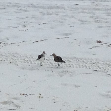 Blue Mountain Beach: The sandpipers each have their piece of the beach.