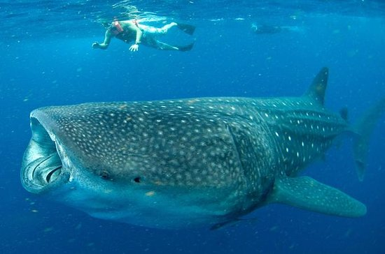 Swim with Whale Sharks in Cancun...