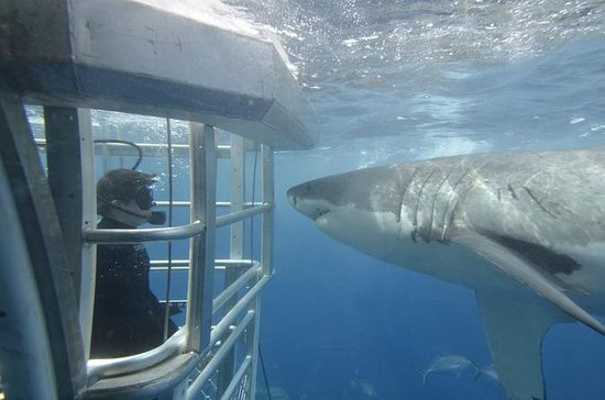 Great White Shark Cruise with...