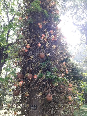 Royal Botanical Gardens: интересное дерево