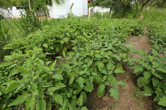Sigirya Jungles : Our very own vegetable patches