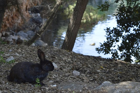 Lokrum Island: A rabbit in front of the dead see lake