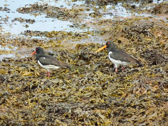 Poppies: Oystercatchers on the beach