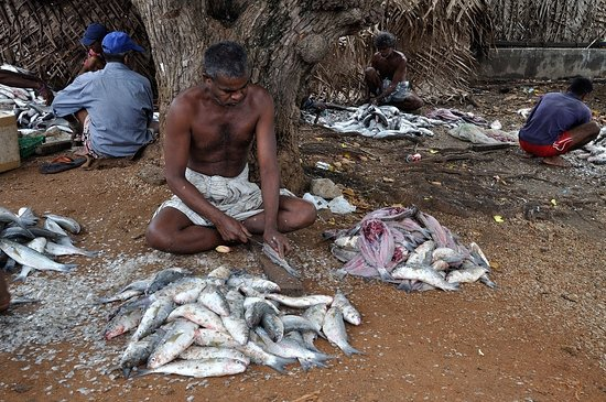 Fishing/fishing communities in Mannar with their fresh catch
