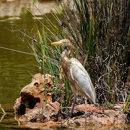 Quinta dos Poetas, Nature Hotel & Apartments: A Cattle Egret on a fishing trip