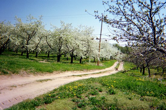 Cherry orchard in bloom near Old Mission Lighthouse.