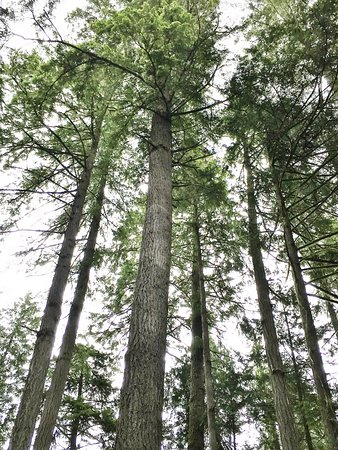 Sechelt Heritage Hidden Groves : Tall, tall trees