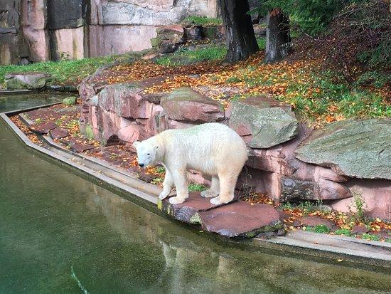 Tiergarten Nuernberg: Lední medvěd