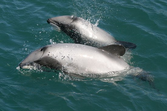 E-Ko Tours: Hectors Dolphins , rare sub-species in our area
