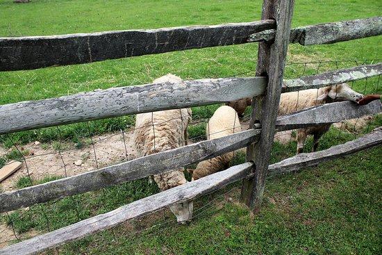 Meadow Farm Museum: Farm animals feeding