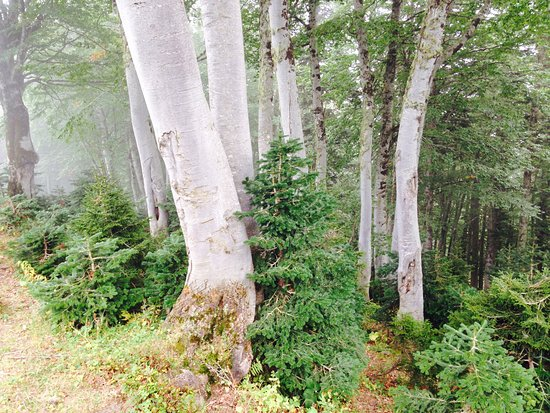 Ozurgeti, Georgia: Forest in Bakhmaro