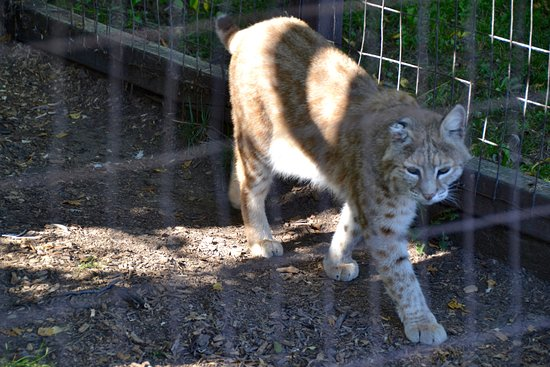 Bobcat Of Brantford >> Bobcat Prowling Picture Of Brantford Twin Valley Zoo