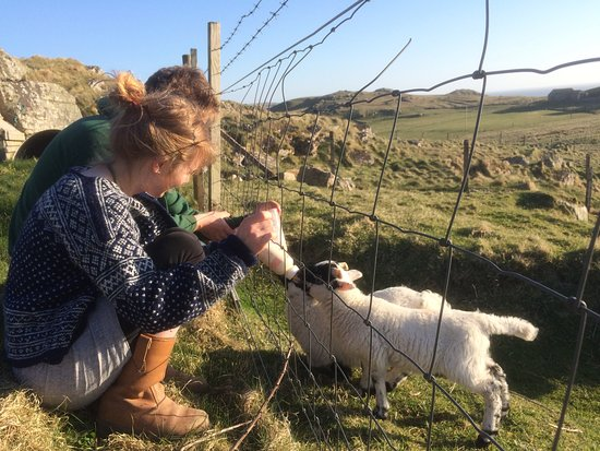 Helping to feed the lambs at Mangersta Croft Holidays, Uig, Isle of Lewis