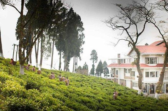 Experience Journey of Darjeeling Tea...