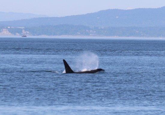 Puget Sound Express: Orca