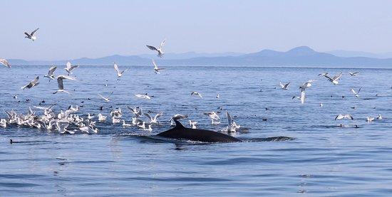 Puget Sound Express: Minke whale