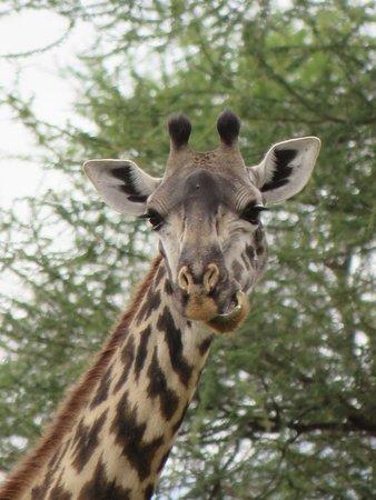 Natural Attraction Safaris : Giraffe