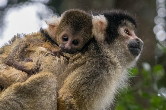 Monkeyland Primate Sanctuary: A home where primates can raise their young safe from human interference.