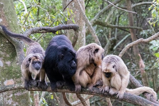 Monkeyland Primate Sanctuary: Family photo of one of our Howler groups