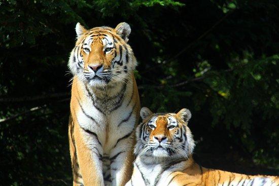 Zoo Zurich : Armour Tiger