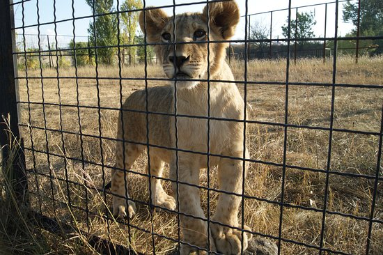 Taigan Lions Park: львята в Тайгане
