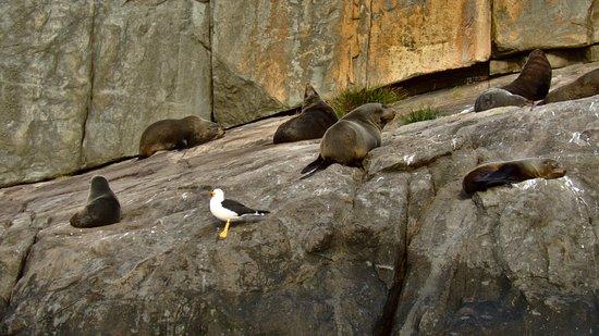 Wild Ocean Tasmania: Fur seals