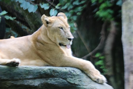 Bali Zoo General Admission Ticket: Lioness