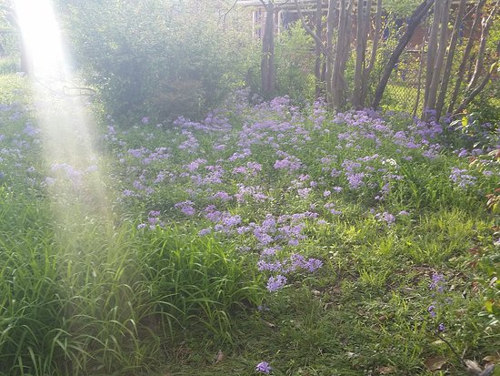 Spahn House Bed and Breakfast: Sweet William blooming in the Spring dawn light