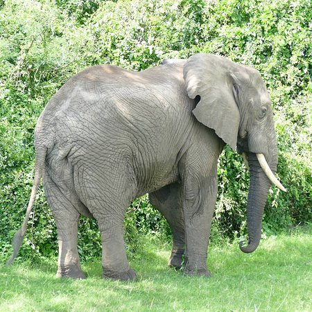 Africa Adventure Safaris : Elephant by Kazinga Channel, Queen Elizabeth NP