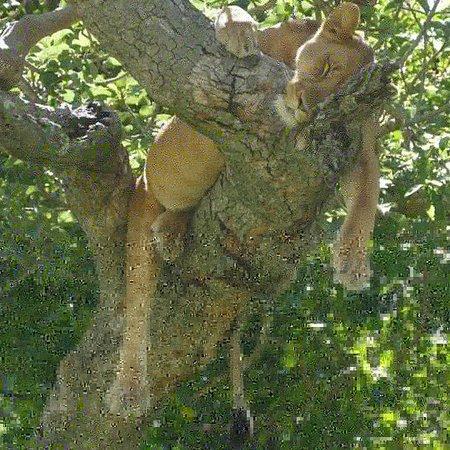 Africa Adventure Safaris : Ishasha Tree Climbing Lions, Queen Elizabeth NP