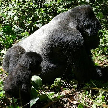 Africa Adventure Safaris: Bwindi Gorilla Tracking