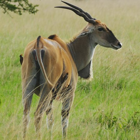 Africa Adventure Safaris : Eland - largest antelope in Africa with some hangers-on