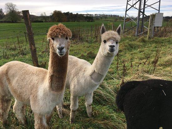 Lesmahagow, UK: Our resident Alpacas :)
