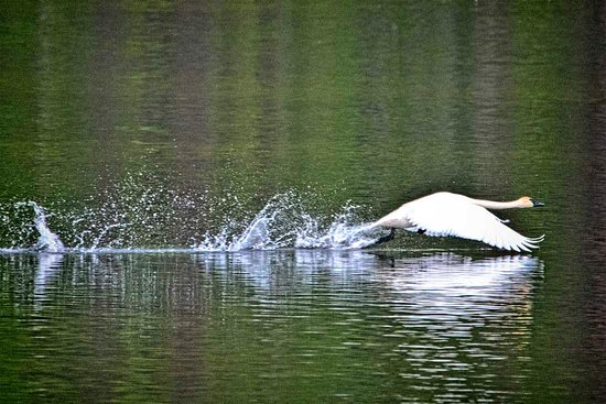 Toad River, Canada: Swan taking off.