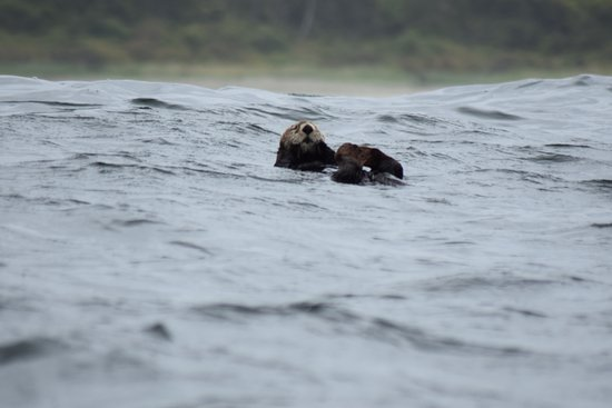 Adventure Tofino - Wildlife Tours: We didn't know that Sea Otters spend all of their lives at sea (seems obvious) .