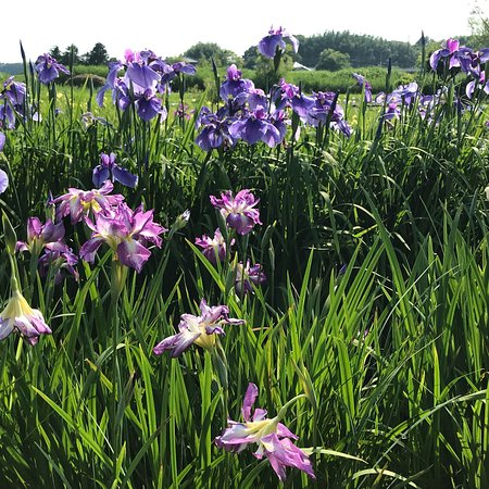The Ushiku City Iris Garden