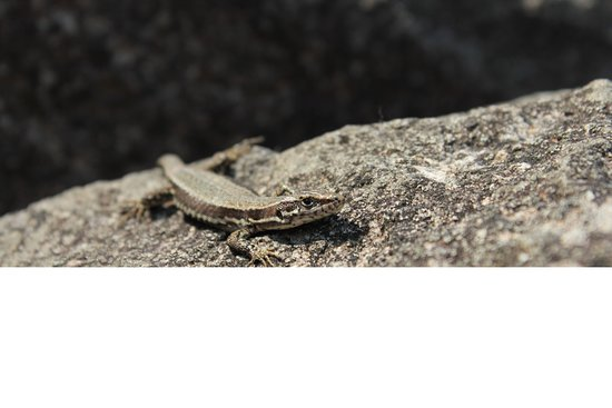 Hunedoara County, Rumänien: Sarmizegetusa Regia - lizard, sunbathing on the rocks