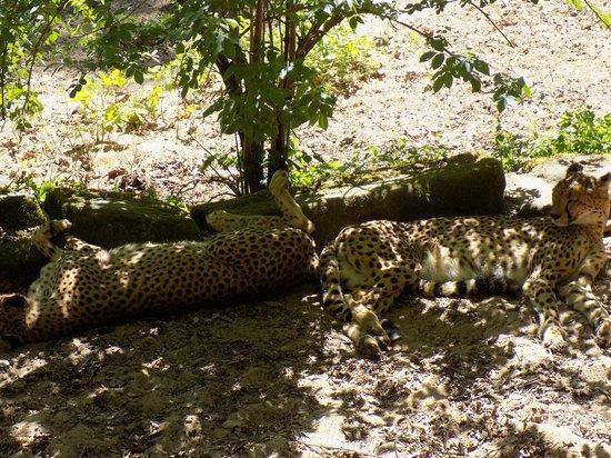 Tiergarten Nuernberg: Gepards