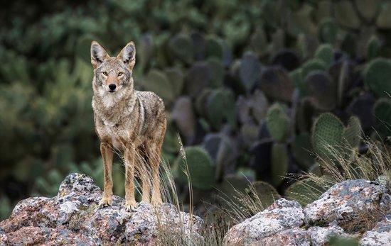Resultado de imagen de coyote