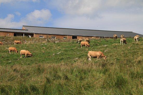 La Godivelle, France: vaches